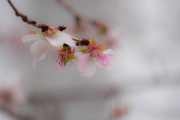 冬の桜-1