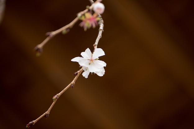 冬の桜-2