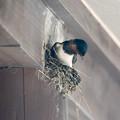 燕 巣作り (7)