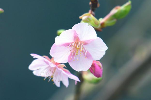 河津桜 最初の一輪