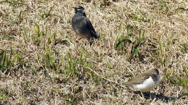ムクドリ と イソシギ(4)