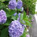 Photos: 紫陽花ロード