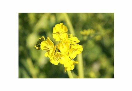 渥美半島 菜の花まつり 開催中-210125-11