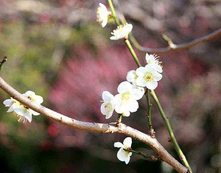 mukaiyama-umematuri-210215-3