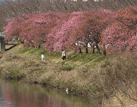 fujishi oonogawa sakura-190220-2