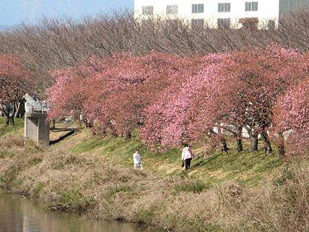 fujishi oonogawa sakura-190220-4