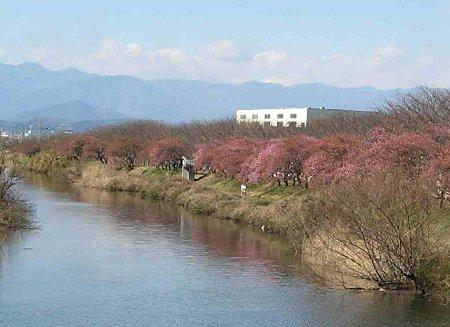fujishi oonogawa sakura-190220-1