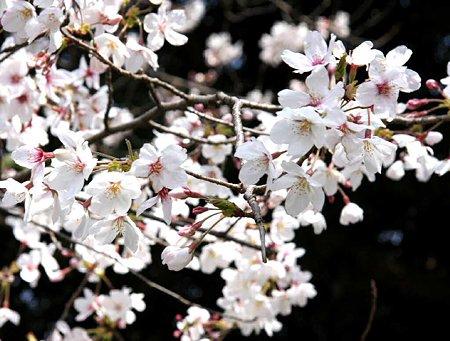 okazakizyou sakuramaturi-210328-19