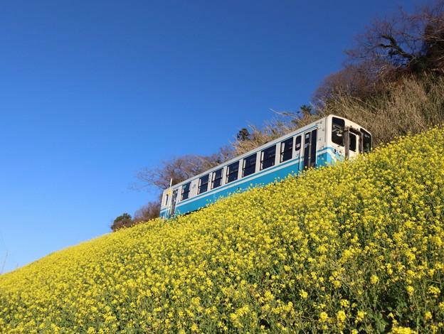 菜の花と列車