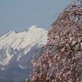 写真: 櫻花雪景