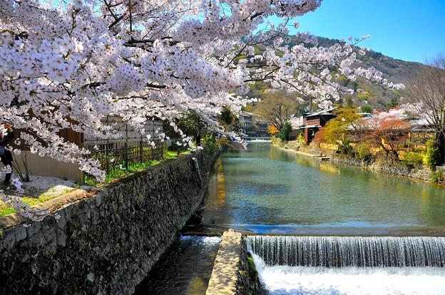 写真: 桜の下を流れる小川