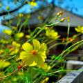 Photos: 快晴に賑わう秋桜