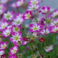 写真: 雲間草『クモマグサ』