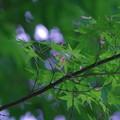 裏山の新緑『モミジ』