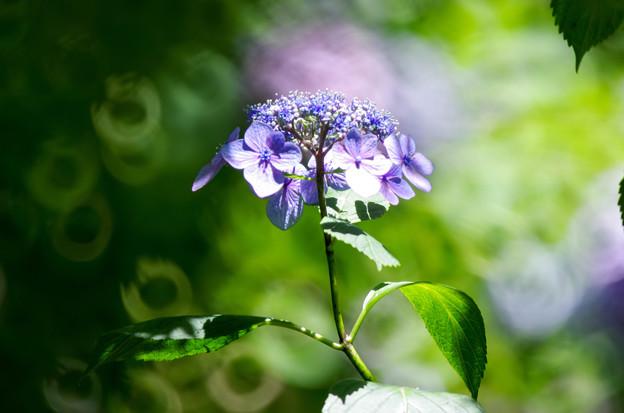 紫陽花とリングボケ3