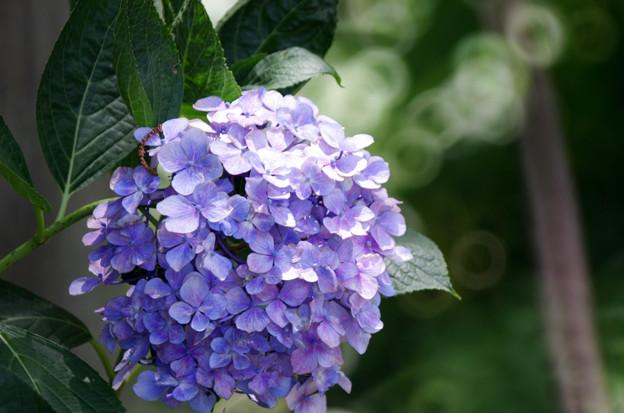 紫陽花とリングボケ1