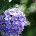 写真: 紫陽花とリングボケ1