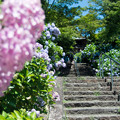 写真: 紫陽花寺にて1
