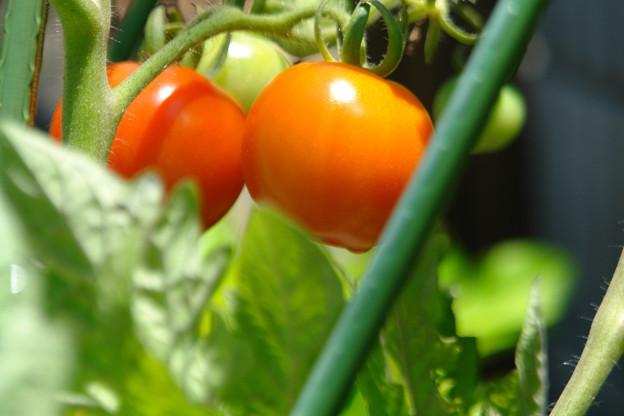 家庭農園(トマト)