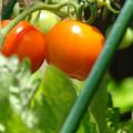 写真: 家庭農園(トマト)