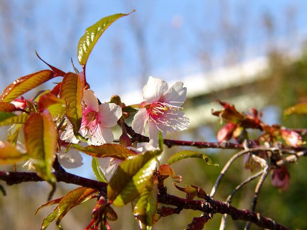 冬の桜(ヒマラヤ桜)