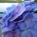 紫陽花湖畔を望む