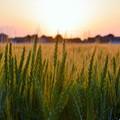 夕焼けの麦畑