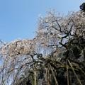 写真: 流れ落ちる桜花