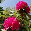 写真: シャクナゲの花