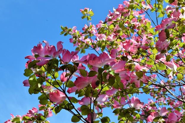 青空いっぱい花水木