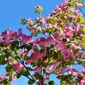 写真: 青空いっぱい花水木