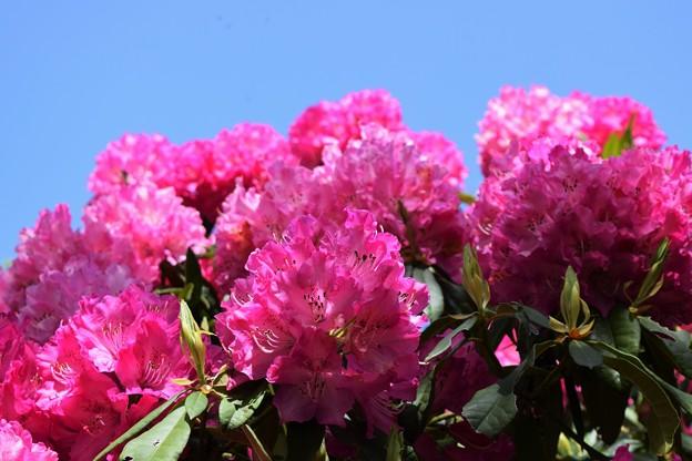 写真: 青空に咲く