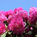 Photos: 青空に咲く