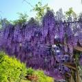 Photos: ふじの花綺麗に咲く