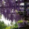 写真: 新緑の中に藤が咲く