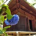 写真: 御堂の片隅に紫陽花咲く