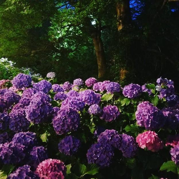Photos: 紫陽花の舞台