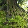 写真: 苔の樹
