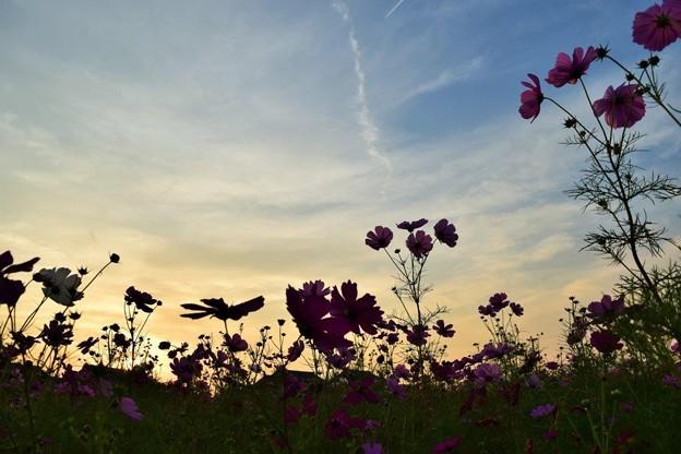 夕暮れ時の秋桜
