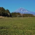 Photos: 日本の風景(大淵笹場の茶畑)