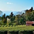 Photos: お茶畑の風景