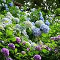 紫陽花ボンボン