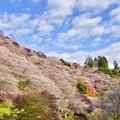 小原の四季桜、紅葉と共演
