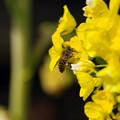 写真: 菜の花に蜂