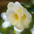 写真: 白い椿