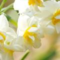 写真: 八重咲きのスイセン