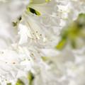 写真: 白いツツジ