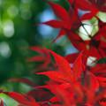 晩春の紅葉