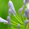 写真: アガパンサスの蕾み