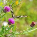 写真: アザミにアゲハチョウ